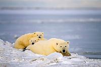 polar bear, Ursus maritimus, mother with cubs resting on the pack ice, 1002 coastal plain of the Arctic National Wildlife Refuge, Alaska, polar bear, Ursus maritimus