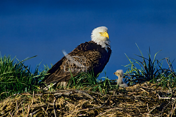 Bald eagle (Haliaeetus leucocephalus) adult with young eaglet at nest, Alaska, June.