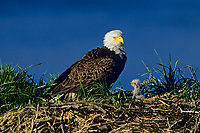 Bald eagle (Haliaeetus leucocephalus) adult with young eaglet at nest, Alaska, June.