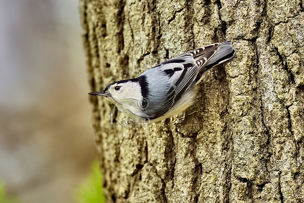 White-breasted Nuthatch (Sitta carolinensis).  Great Lakes Region.  May.