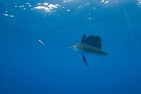pelagic Atlantic sailfish, Istiophorus albicans, (considered by some to be a single species with Istiophorus platypterus), chases a teaser bait Yucatan Peninsula, Mexico (Caribbean Sea) near Contoy Island, Isla Mujeres, Cozumel, Cancun