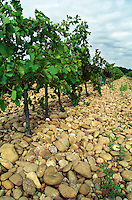 Vines with the typical soil in Chateauneuf, big stone pebbles called galet galets  Chateau Mont-Redon, Chateauneuf-du-Pape Châteauneuf, Vaucluse, Provence, France, Europe