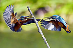 Two kingfishers battle for territory by Carl Bovis