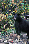 Black bear in a camp ground where food was left in a fire pit