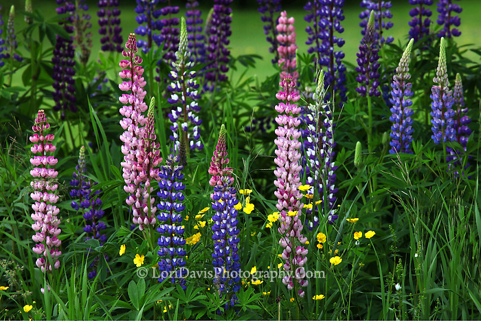 Lupine with Buttercups #F41
