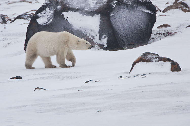 Polar Bear walking past an icy boulder along the shore of Hudson's Bay