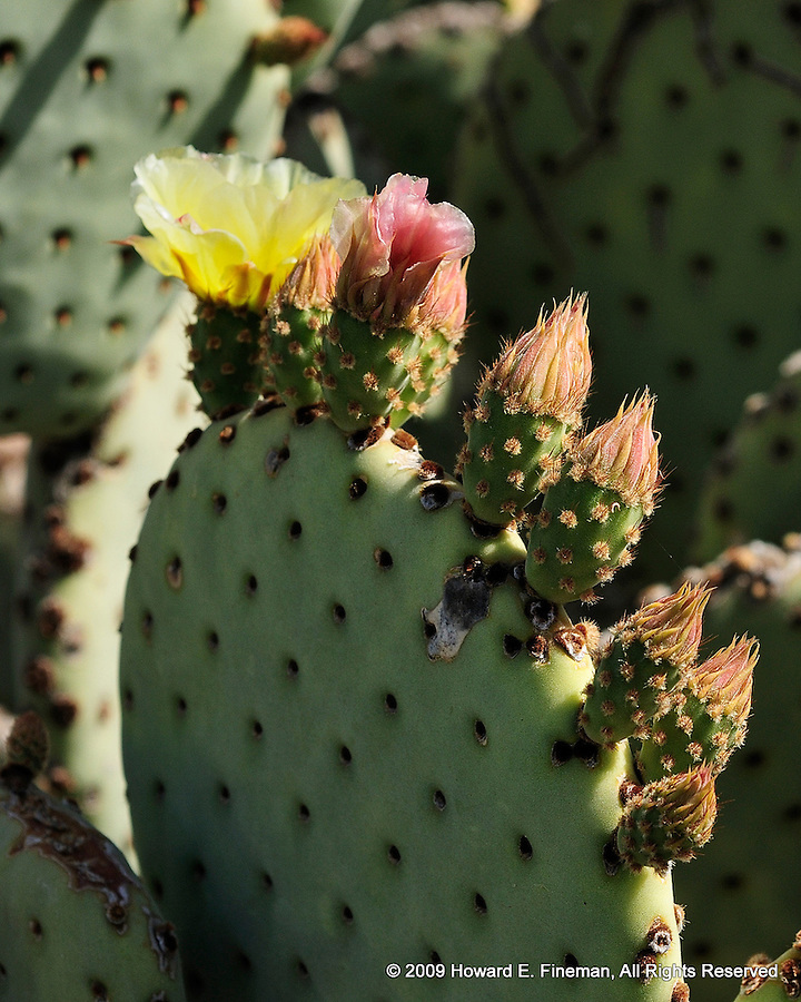 Cactus Flower 3