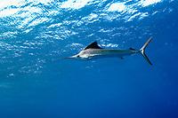 Atlantic Sailfish (Istiophorus albicans) swimming below the surface offshore Palm Beach, Florida, USA, Atlantic Ocean