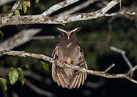 The Crested owl is one of my favorite owl species. This was my first time seeing it outside of Costa Rica.