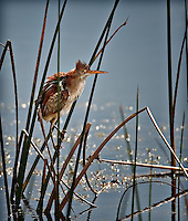 Least Bittern clinging to reeds in water