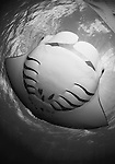 A fisheye view of a manta ray belly, Manta birostris, Goofnuw Channel, Valley of the Rays, Yap, Micronesia, Pacific Ocean