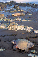 olive ridley sea turtles, Lepidochelys olivacea, come ashore to nest during Arribada, Ostional, Costa Rica, Pacific Ocean