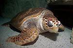 Loggerhead Sea Turtle resting on coral sand bottom full body view 45 degrees to camera