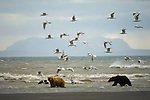 Brown bears with three cubs in surf at the mouth of Silver Salmon Creek, on the western shores of Cook Inlet.