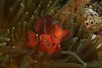 Anemonefish , Visayas, Philippines 2017