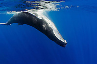 humpback whale, Megaptera novaeangliae, mature female, swiming her belly-side up against surface of the ocean to escape from being copulated by pursuing male, Hawaii, USA, Pacific Ocean