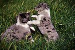 Playful Australian Shepherd Puppies.San Luis Obispo, California