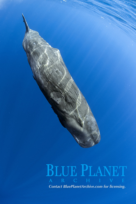 Sperm whale, Physeter macrocephalus, The sperm whale is the largest of the toothed whales Sperm whales are known to dive as deep as 1,000 meters in search of squid to eat Image has been shot in Dominica, Caribbean Sea, Atlantic Ocean Photo taken under permit #P 351/12 W-2