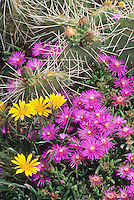 Delosperma cooperi in hardy succulent garden with Opuntia polyacantha and Gazania