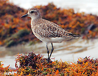 Black-bellied plover in nonbreeding plumage in early April