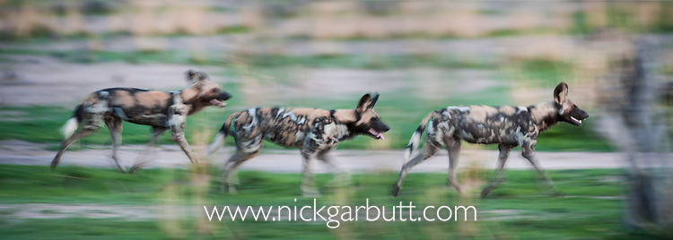 African Hunting Dogs or Painted Hunting Dogs (Lycaon pictus). South Luangwa National Park, Zambia.
