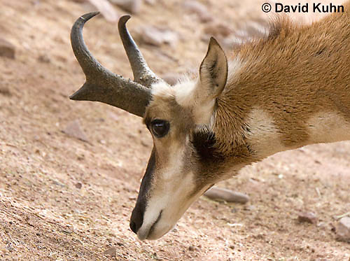 0606-1107  Pronghorn (Prong Buck) in Sonoran Desert, Antilocapra americana  © David Kuhn/Dwight Kuhn Photography