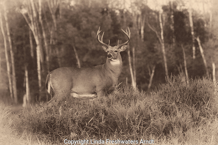 White-tailed buck (Odocoileus virginianus) in the early evening fog.  Fall.  Winter, WI.