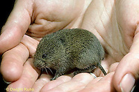 MU30-202z  Meadow Vole - 15 day old young - Microtus pennsylvanicus
