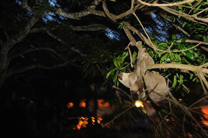 Oso perezoso con cría / Clayton, Panamá.