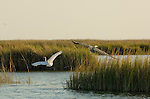 A great egret and a great blue heron take flight from a Smith Island salt marsh