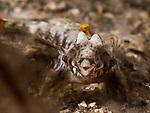 Lancer Dragonet Headshot, Paradiplogrammus bairdi-mouth open- mating behavior