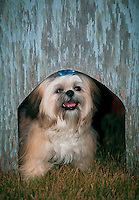 A Shih-tzu peers out from within a weathered doghouse.