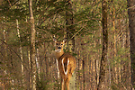 White-tailed deer looking back at the edge of a northern Wisconsin forest.