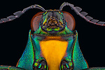"""Pictured: A jewel beetle<br /> <br /> Incredibly detailed close-up photos of insects make them look like creatures straight from a science-fiction film.  The extreme macro photographs make flies, dragonflies, a grasshopper, ants, wasps, a bee and beetles appear lifesize and show them in detail impossible to see with the naked eye.<br /> <br /> The photographs were taken by Lessy Sebastian in Jakarta, Indonesia, who found all the bugs in his garden.  Mr Sebastian, 57, said: """"I was just amazed when I looked back at the photos.  SEE OUR COPY FOR DETAILS.<br /> <br /> Please byline: Lessy Sebastian/Solent News<br /> <br /> © Lessy Sebastian/Solent News & Photo Agency<br /> UK +44 (0) 2380 458800"""