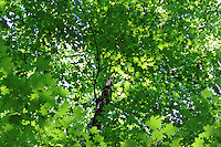 Spring maples leaves canopy in the great smoky mountain national park, USA