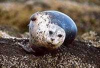 Harbor seal, Phoca vitulina, on rock, San Jaun Islands, Washington