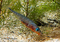 1S22-525z  Male Threespine Stickleback shaping nest by pushing plant materials with it mouth, mating colors showing bright red belly and blue eyes,  Gasterosteus aculeatus,  Hotel Lake British Columbia