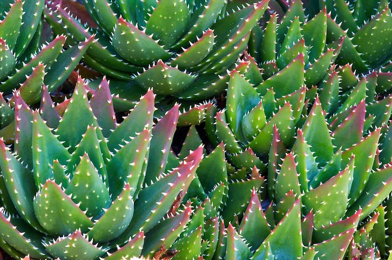 Aloe plant brevifolia hybrid.Mendoceno Coast Botanical Gardens. California