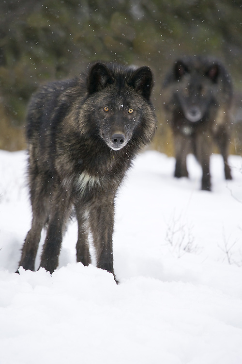 Grey Wolf (canis lupus) and a shadow wolf watch intently through the falling snow in a snowy clearing near Kalispell, Montana, USA - Captive Animals