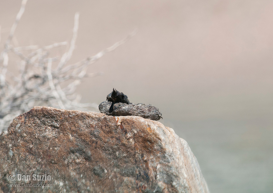 Coyote scat on a rock in Wildrose Canyon, Death Valley National Park, California