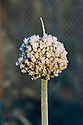 Autumn hoar frost on onion flowerhead foliage, October.