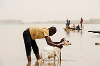 MALI, Mopti, pinnace boats on river Niger , man washing goat / MALI, Mopti, Pinasse auf dem Fluss Niger
