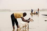 MALI, Mopti, pinnace boats on river Niger , man washing goat / MALI, Mopti, Pinasse auf dem Fluss Niger