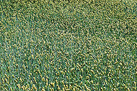 Spring wheat field, Lancaster, Pennsylvania, PA, USA