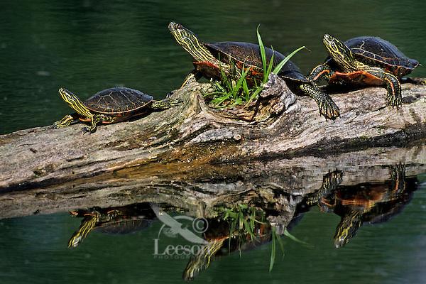 Painted turtles (Chrysemys picta) sunning on log.  June.  Western U.S.