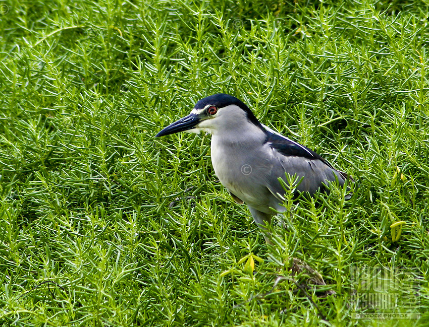 Black-crown Night-heron (Nycticorax nycticorax) (adult)in a wetland area on Oahu. Bird not native to Hawaii.