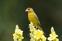 Grünfink, Grünling, Männchen, nutzt eine Königskerze als Sitzwarte, Grün-Fink, Chloris chloris, Carduelis chloris, greenfinch, male, Verdier d'Europe