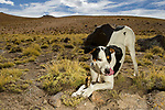 Domestic Dog (Canis familiaris) chewing on bone, Abra Granada, Andes, northwestern Argentina