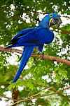 Hyacinth Macaw (Anodorhynchus hyacinthinus) in forest bordering of the Cuiaba River, Northern Pantanal, Brazil. September