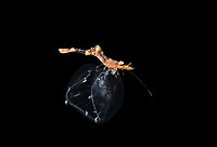 unidentified shrimp riding in a Jellyfish during  a Blackwater drift dive in open ocean at 20-40 feet with the bottom at 600+ feet below.  Palm Beach, Florida, U.S.A.  Atlantic Ocean